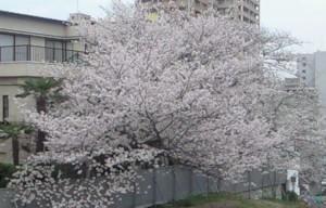 horisaka-sakura-20130328