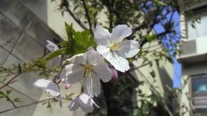 7~8年前にサクランボの種を埋めたところから生えてきた桜が初めて咲きました!